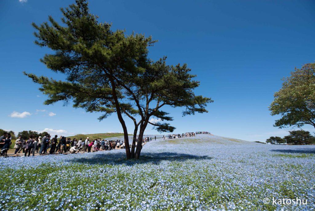 ネモフィラの丘@ひたち海浜公園