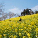 マザー牧場 菜の花