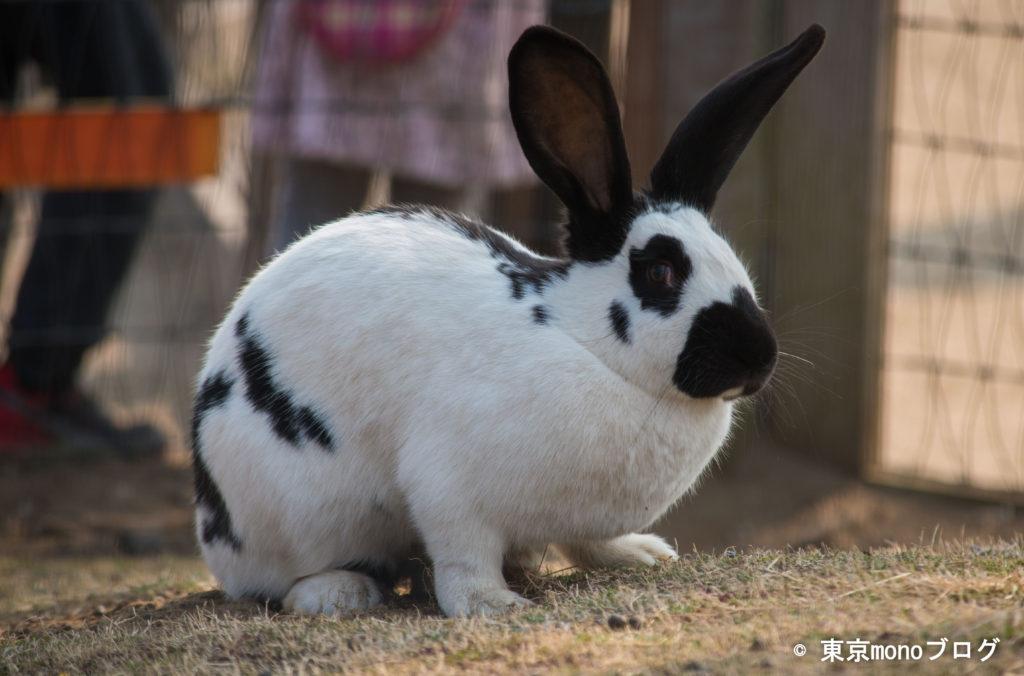 マザー牧場のウサギ