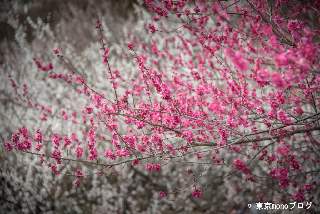 筑波山梅まつり 紅梅