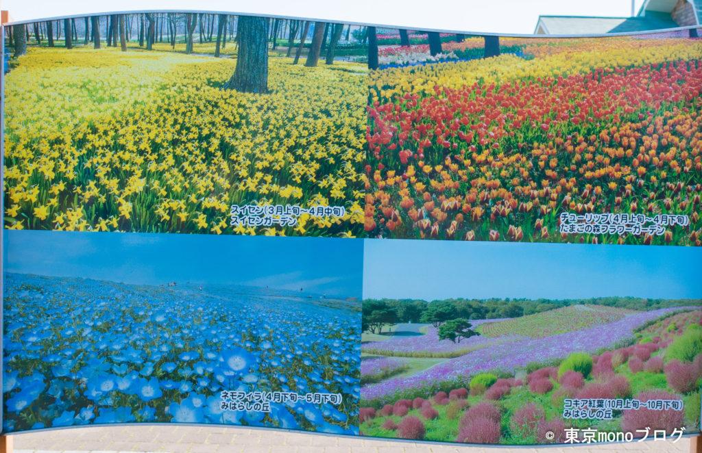 国営ひたち海浜公園の目玉の花