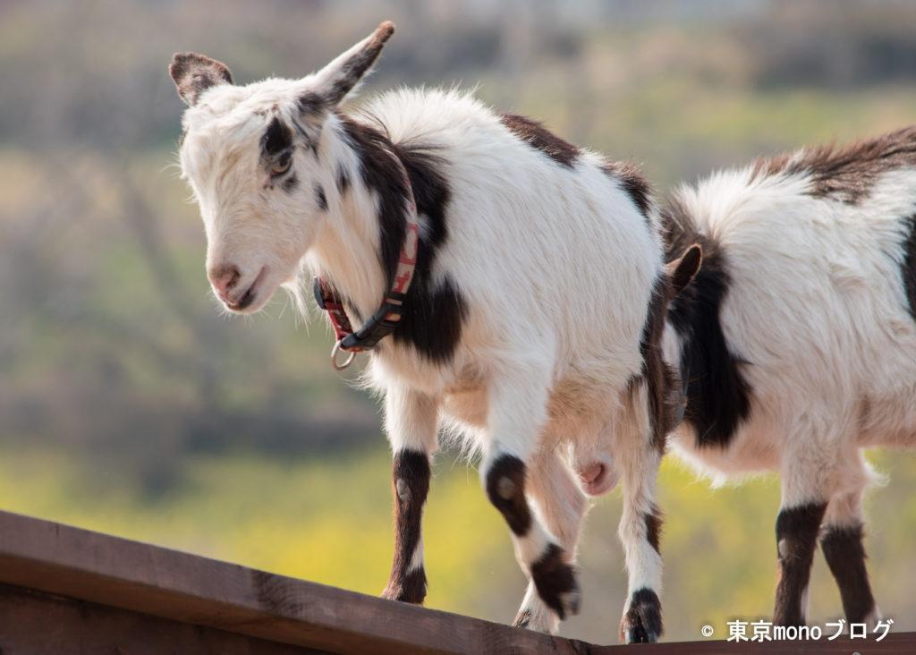 マザー牧場のヤギ