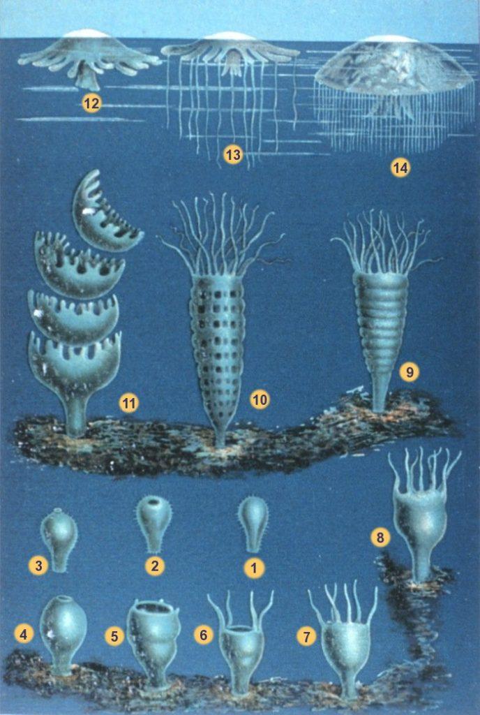 クラゲの生態