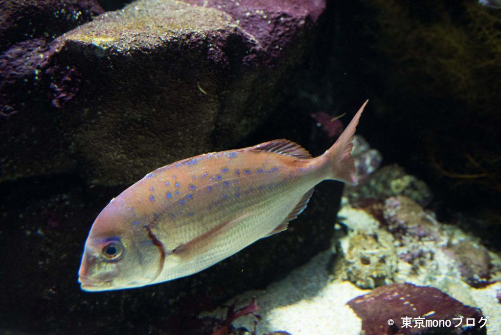 加茂水族館 鯛