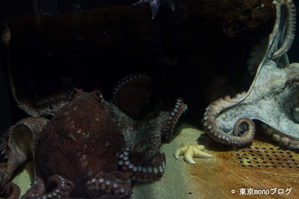 加茂水族館 ミズダコ
