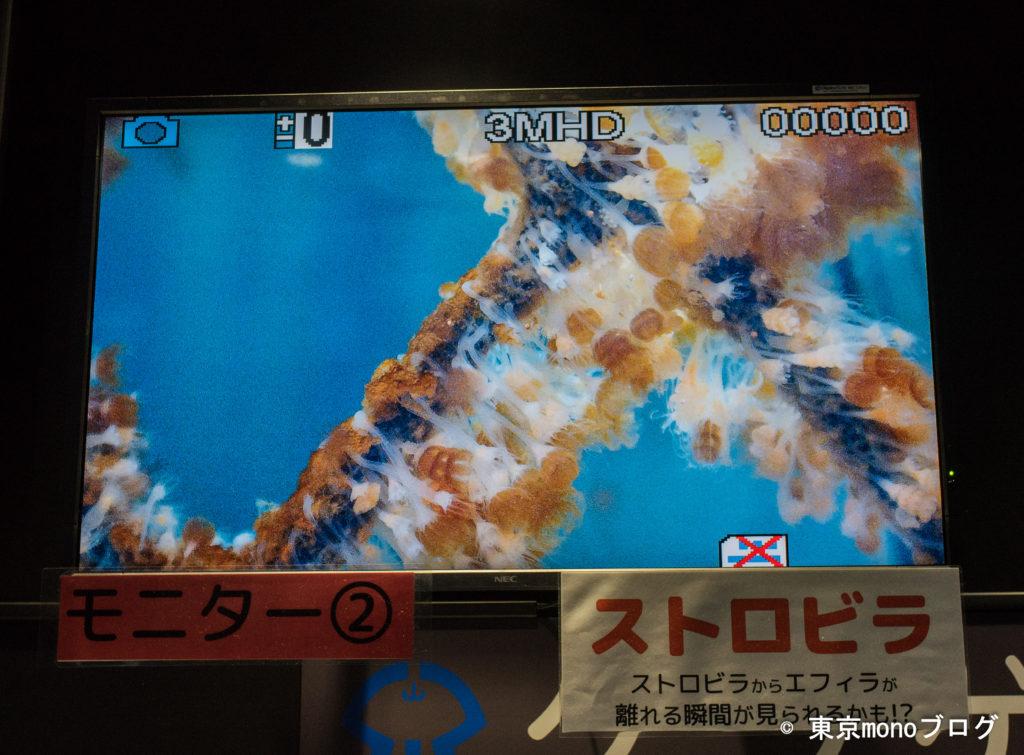 加茂水族館 ストロビラ